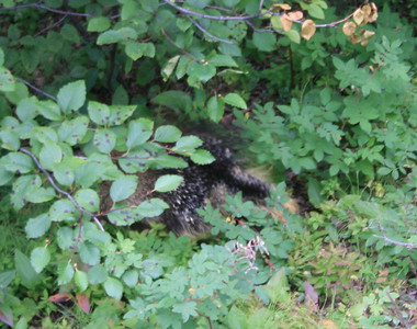 Our first view of wildlife -- a porcupine. Didn't get out of the car quick enough for a good photo but he was right by the side of the road.